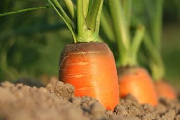 León produce 'mega' zanahorias