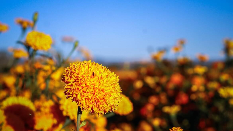 Cempasúchil, la flor de los veinte pétalos