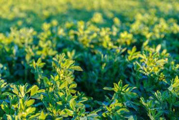 Alfalfa: la planta que nos alimenta a todos